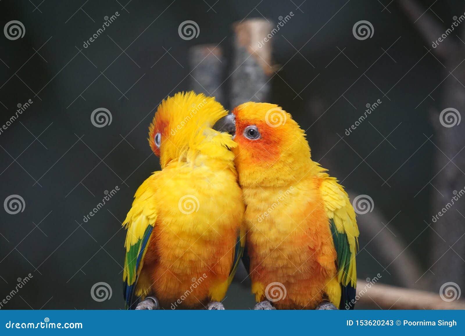 Dois pássaros amarelos estão sentando-se no ramo