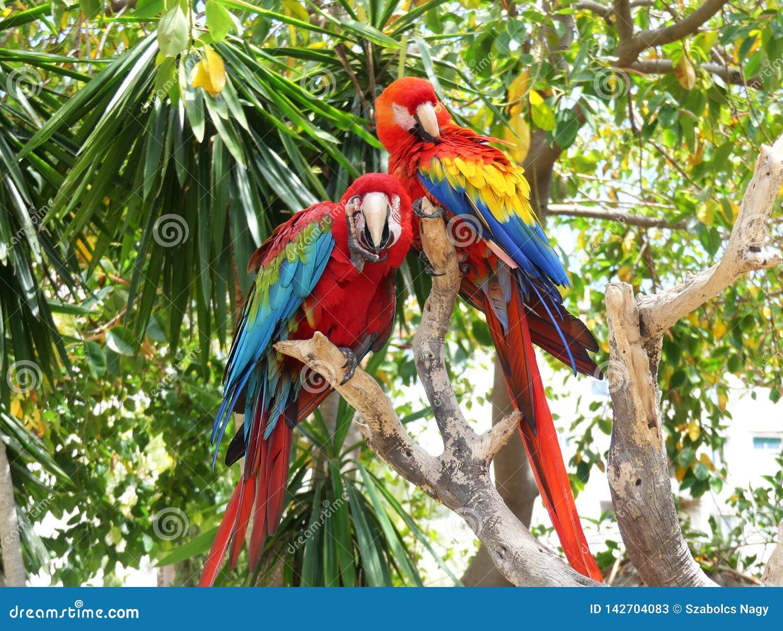 Dois papagaios tropicais bonitos