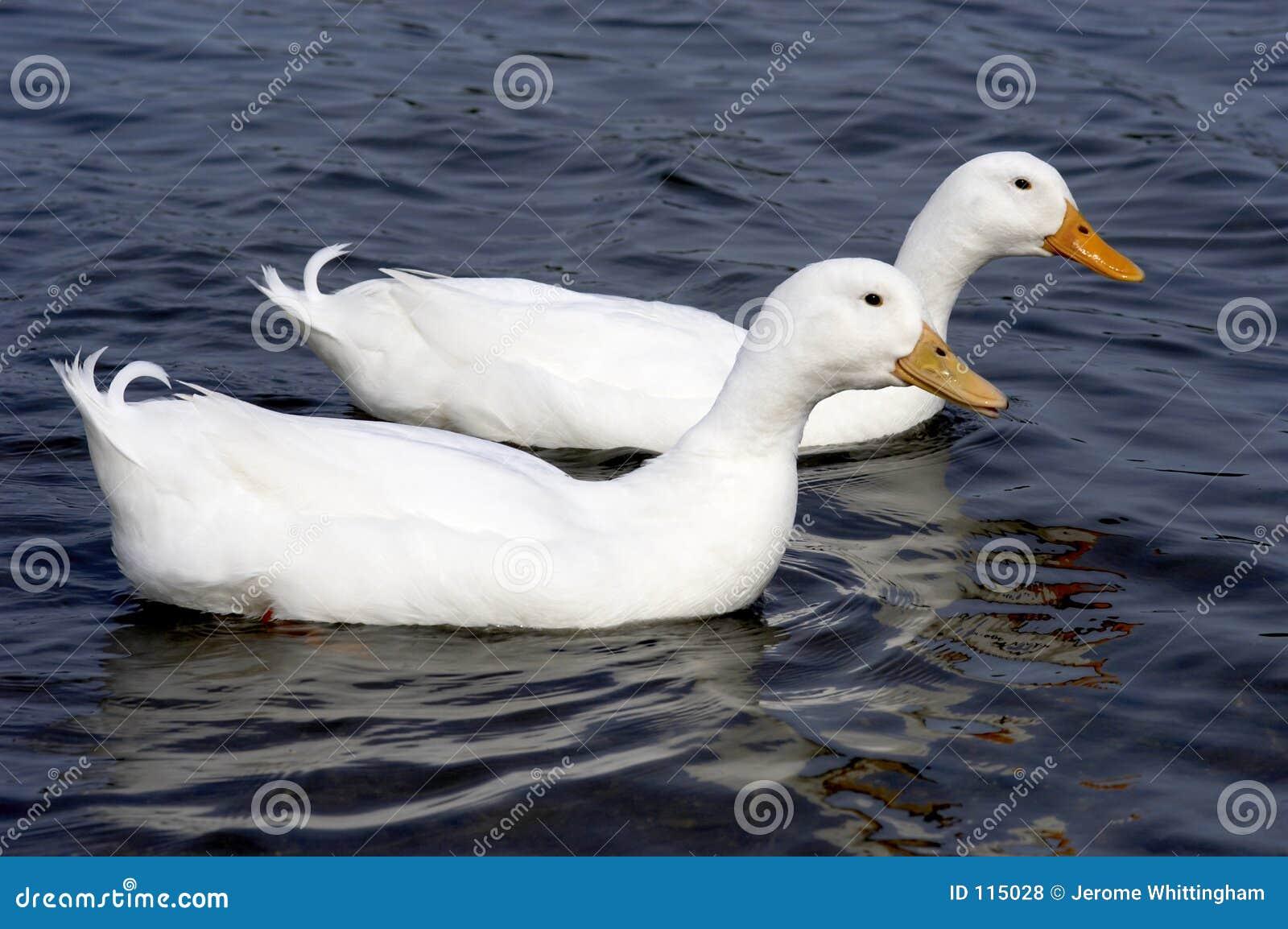 Dois patos brancos