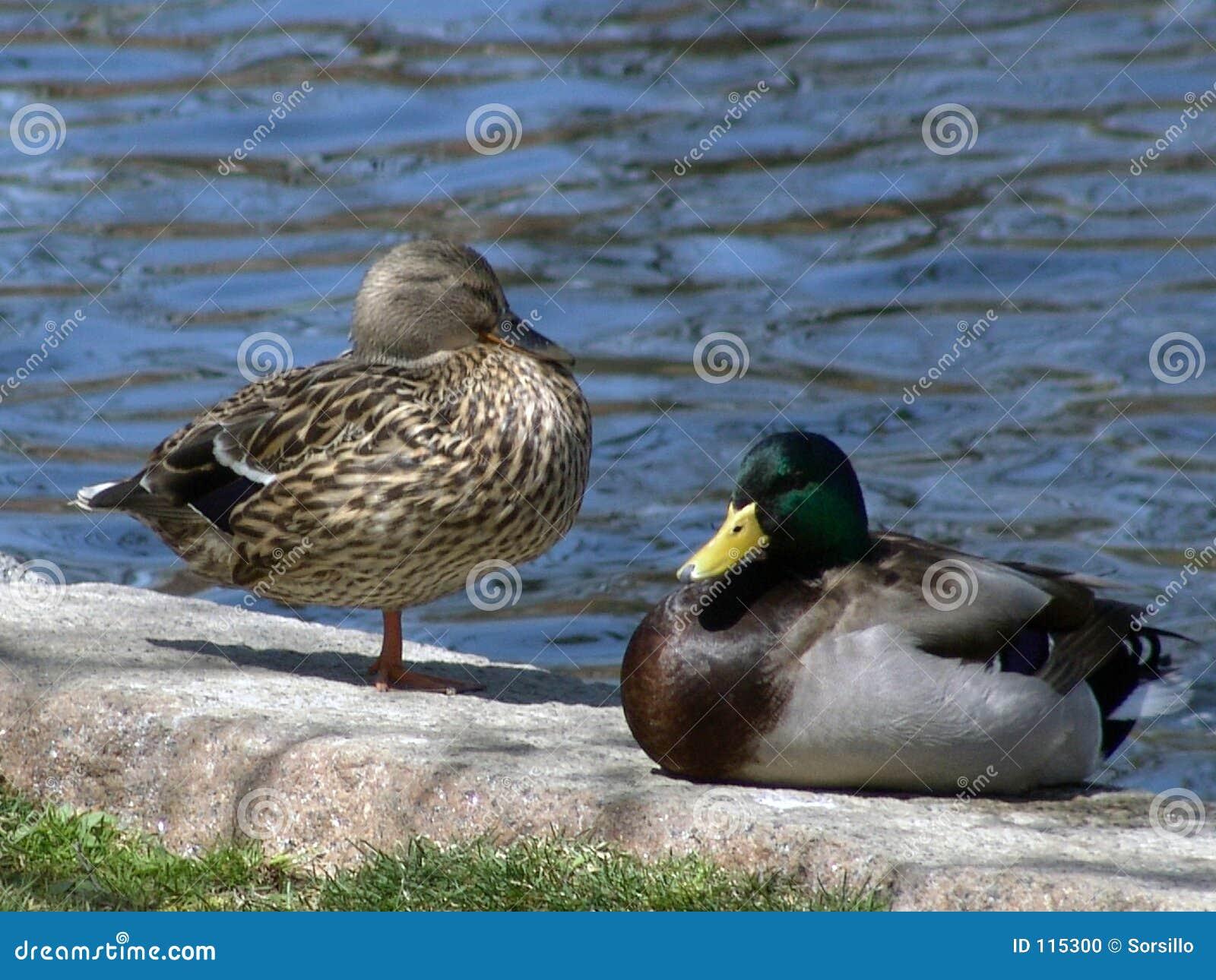 Dois patos do pato selvagem