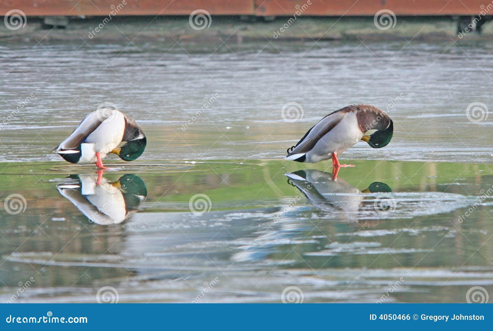 Dois patos selvagens em um lago congelado.