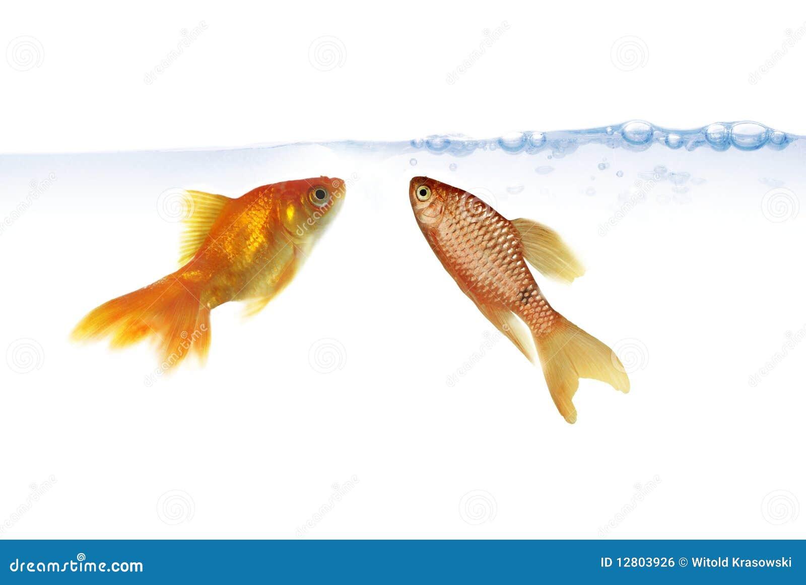 Dois peixes do ouro