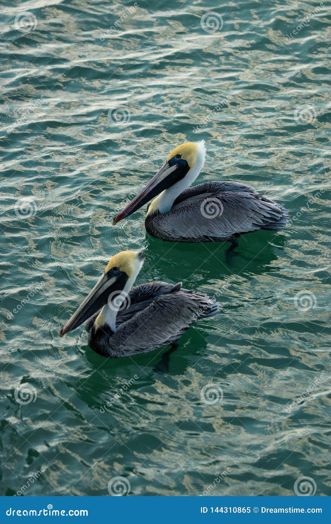 Dois pelicanos na praia de Nápoles