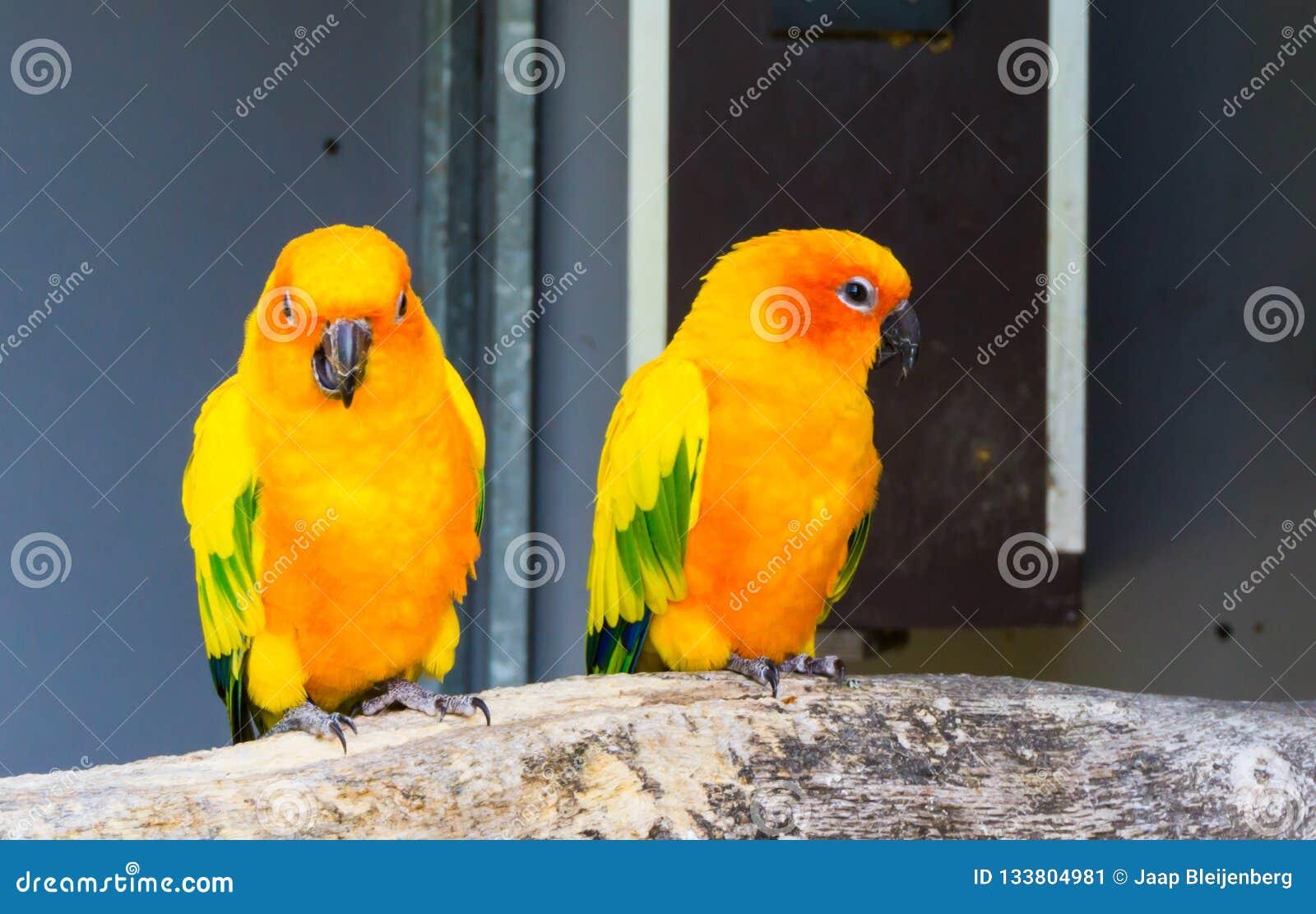 Dois periquitos do jandaya que sentam-se em um ramo junto um que olha na câmera e nos papagaios exóticos e pequenos mastigando, c