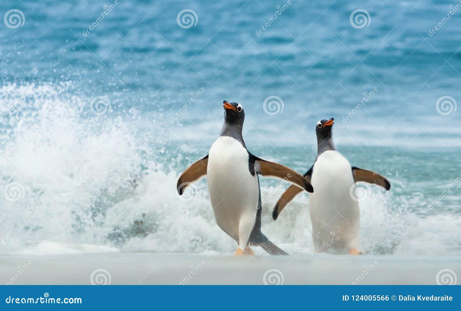 Dois pinguins de Gentoo que vêm em terra de Oceano Atlântico