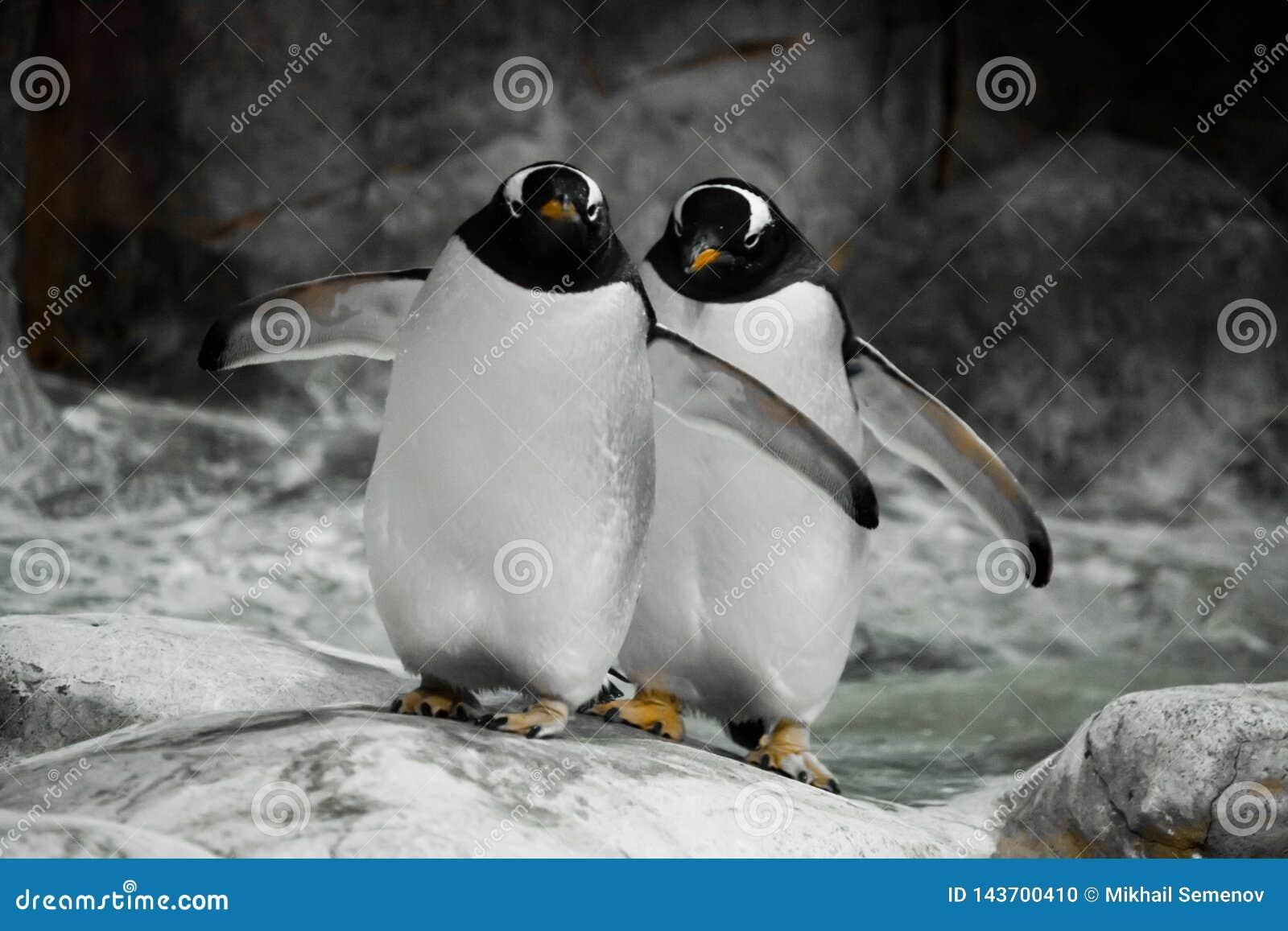 Dois pinguins est?o estando de lado a lado esposos, um casal ou os pinguins secund?rio-ant?rticos bonitos gordos dos amigos est?o