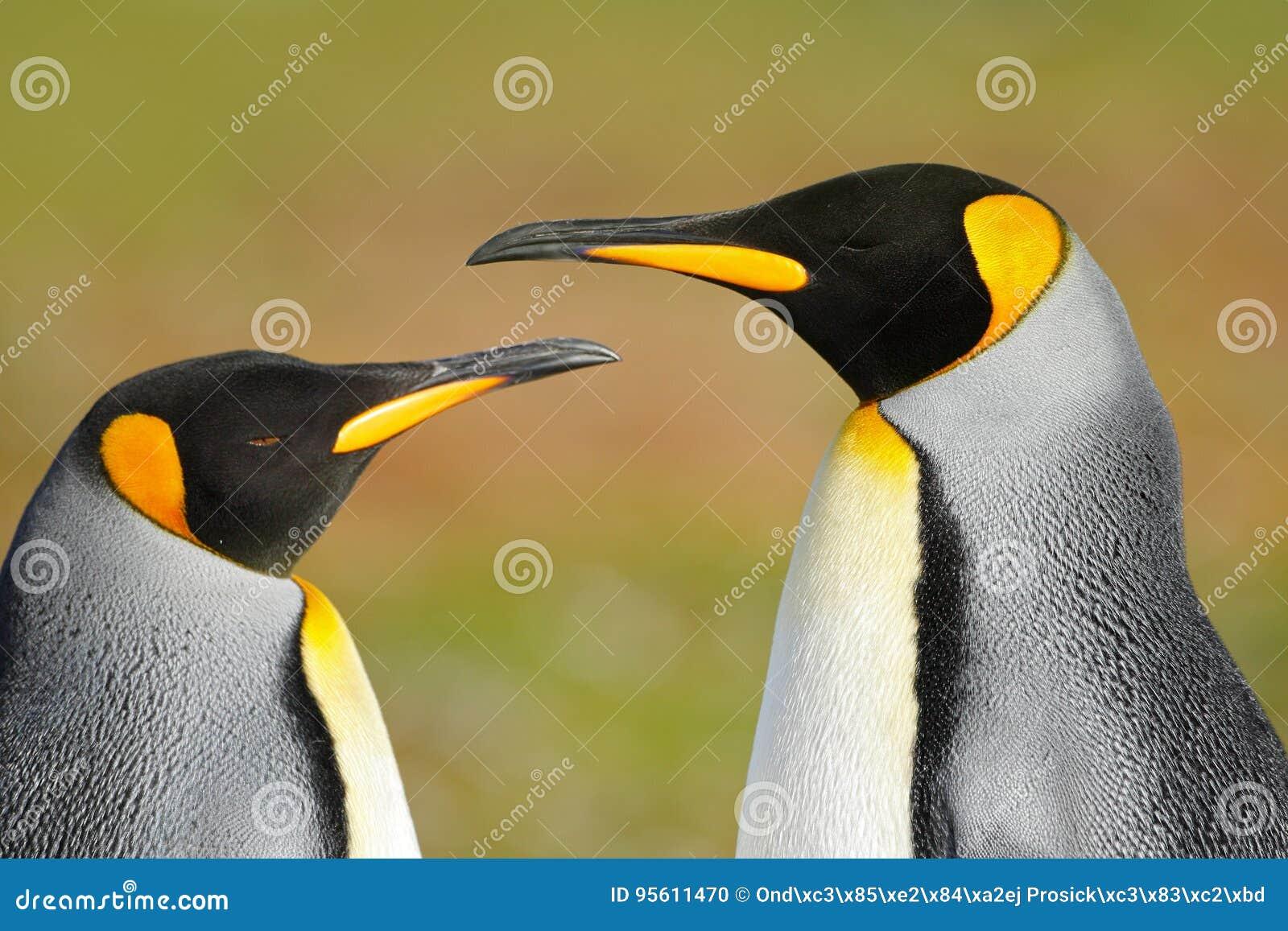 Dois pinguins Pares que afagam, natureza selvagem do pinguim de rei, fundo verde Dois pinguins que fazem o amor Na grama Cena dos