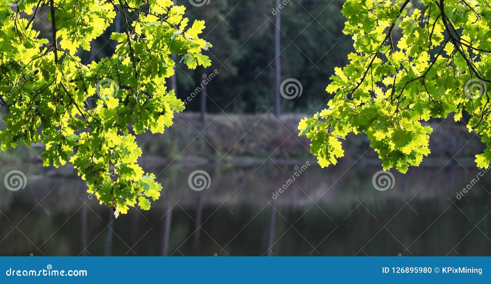 Dois ramos do carvalho comum na luz solar Quercus Robur