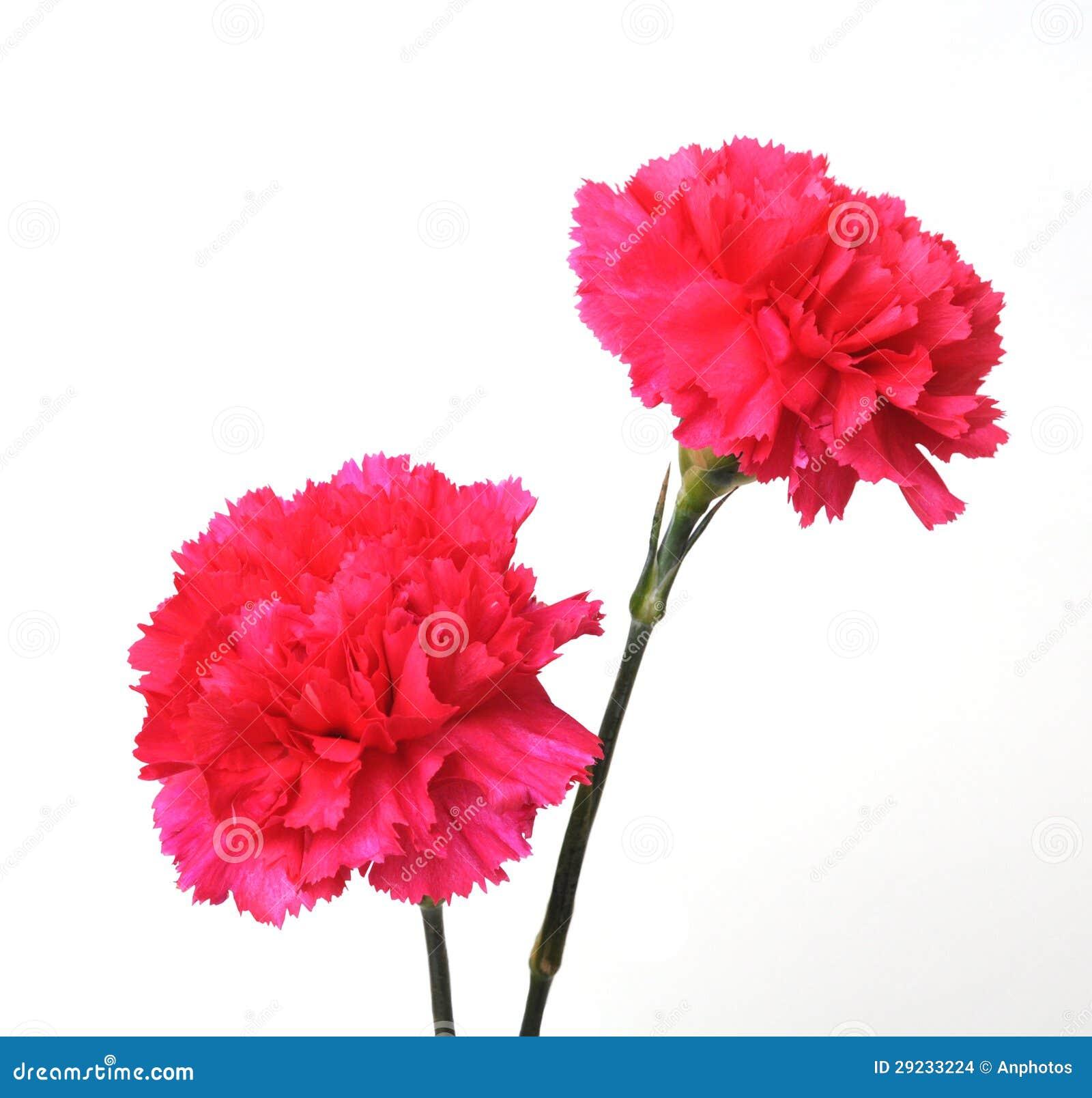 Download Dois ramos do cravo foto de stock. Imagem de floral, florescer - 29233224