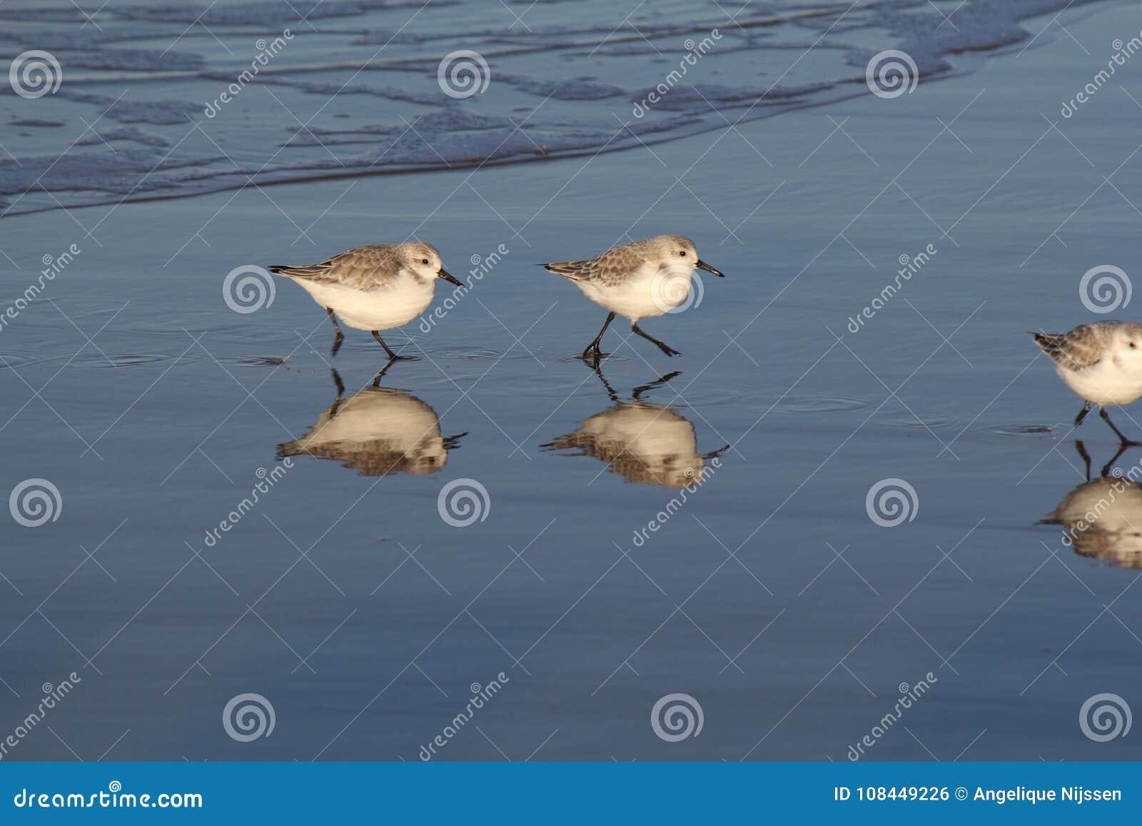 Dois sanderlings que correm na linha de água à procura do alimento