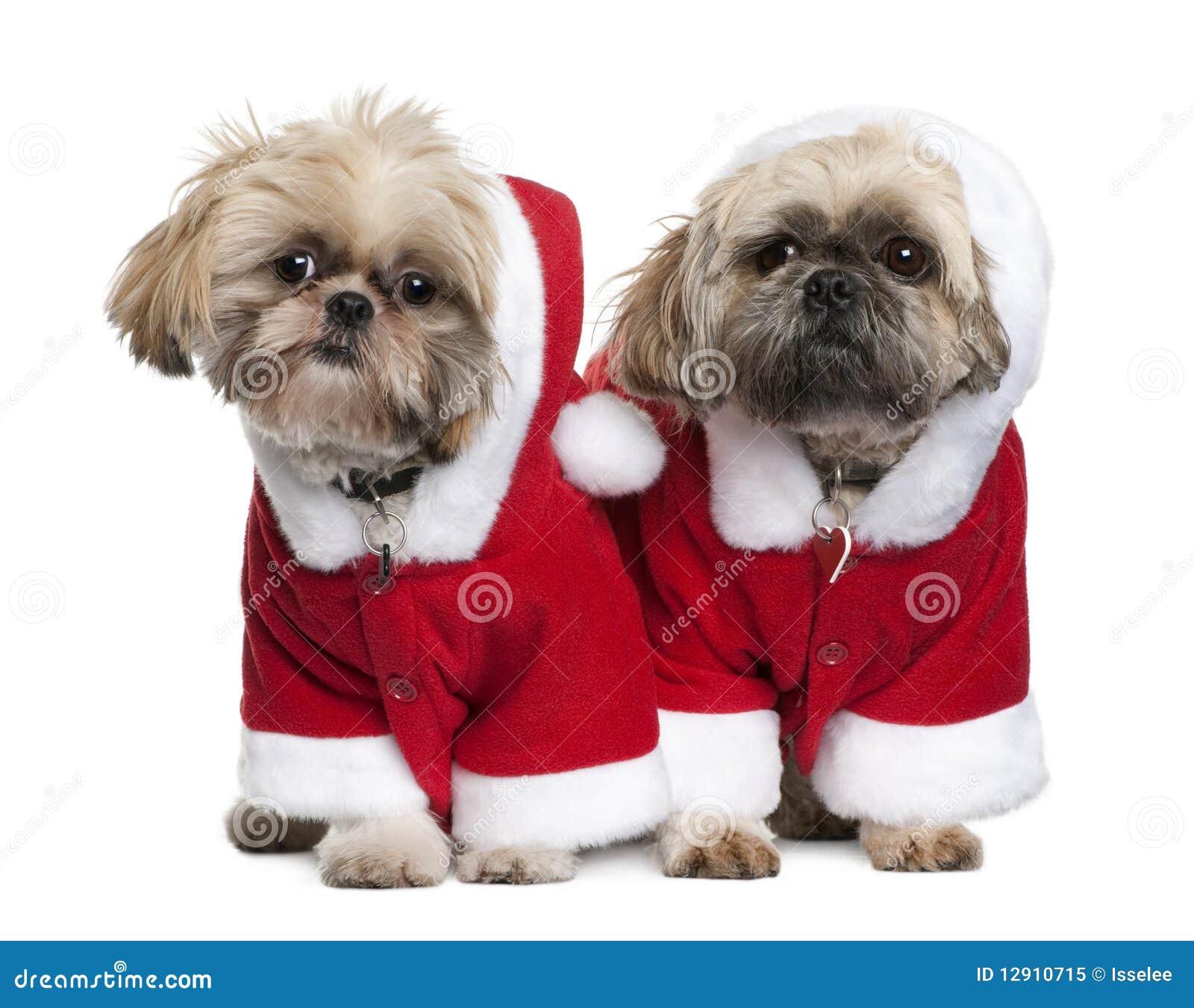 Dois Shi Tzu Nos Ternos De Papai Noel Estando Imagem De