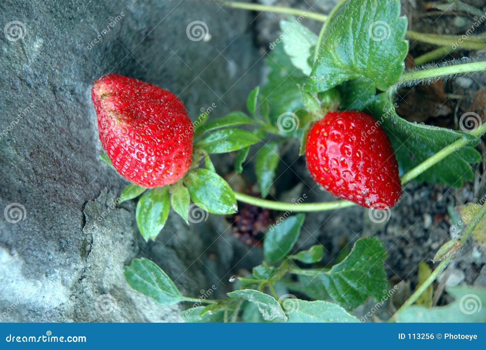 Dois strawberrys