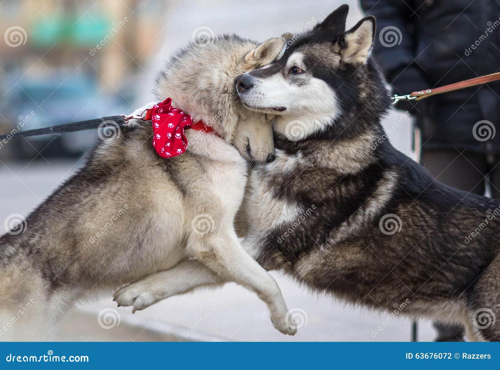 Dois Syberian Husky Dogs Hugs Each Other Conceito Do Amor Do Cao Foto De Stock Imagem De Dogs Amor 63676072