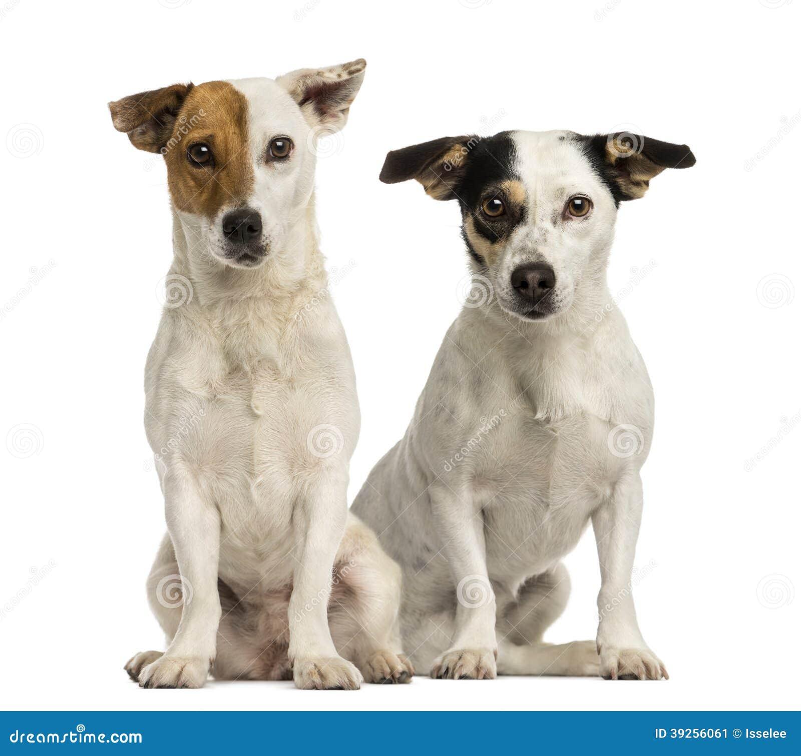 Dois terrier de Jack russell que sentam e que olham a câmera