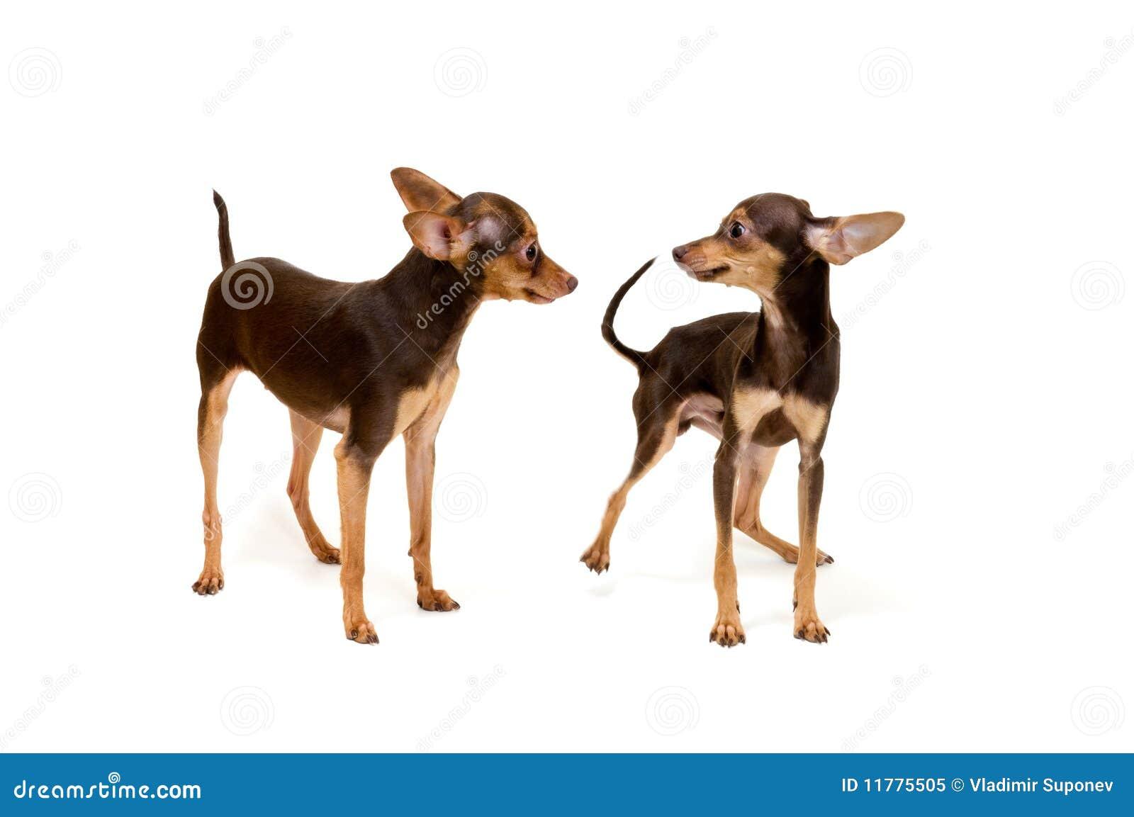 Dois terrier no estúdio