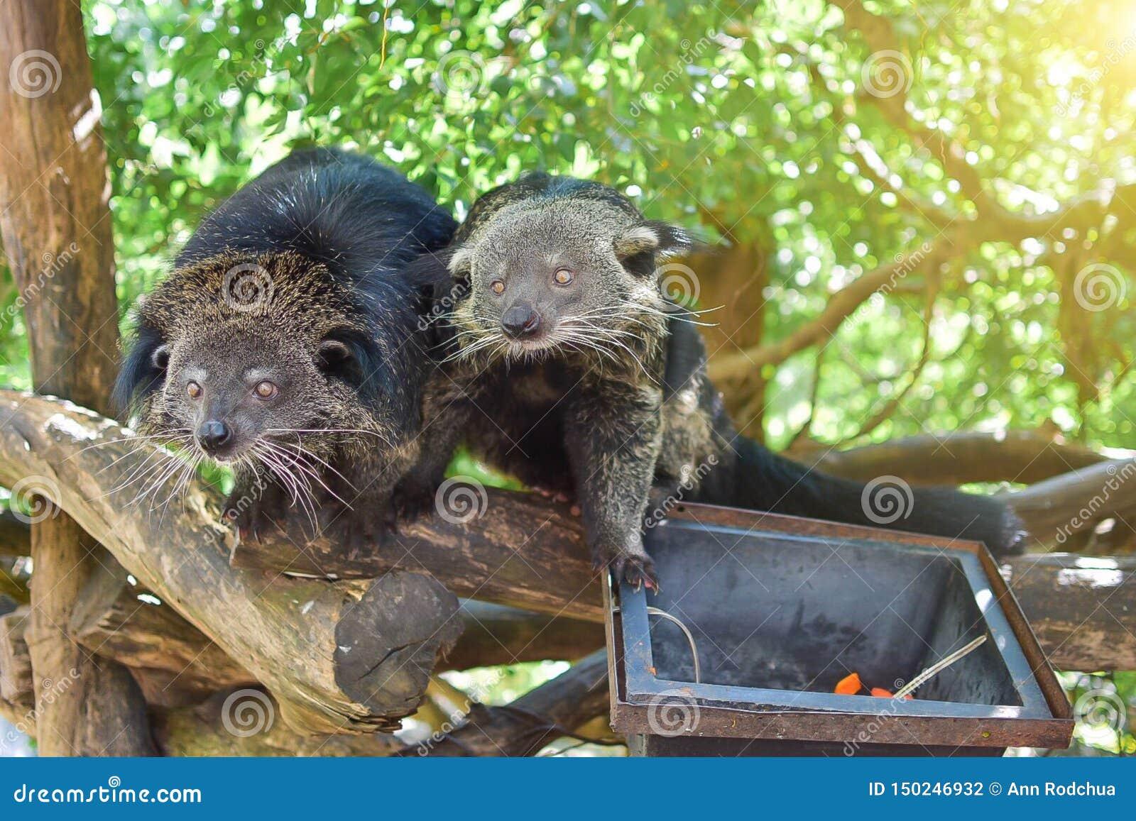 Dois ursos estão procurando alimentos
