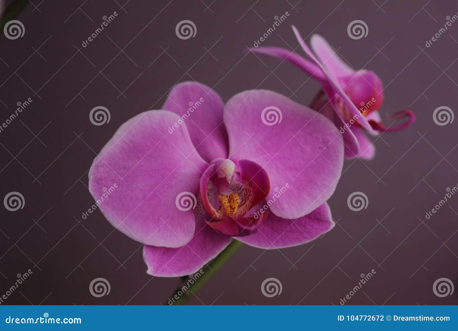 Dois Violet Orchids muito bonita
