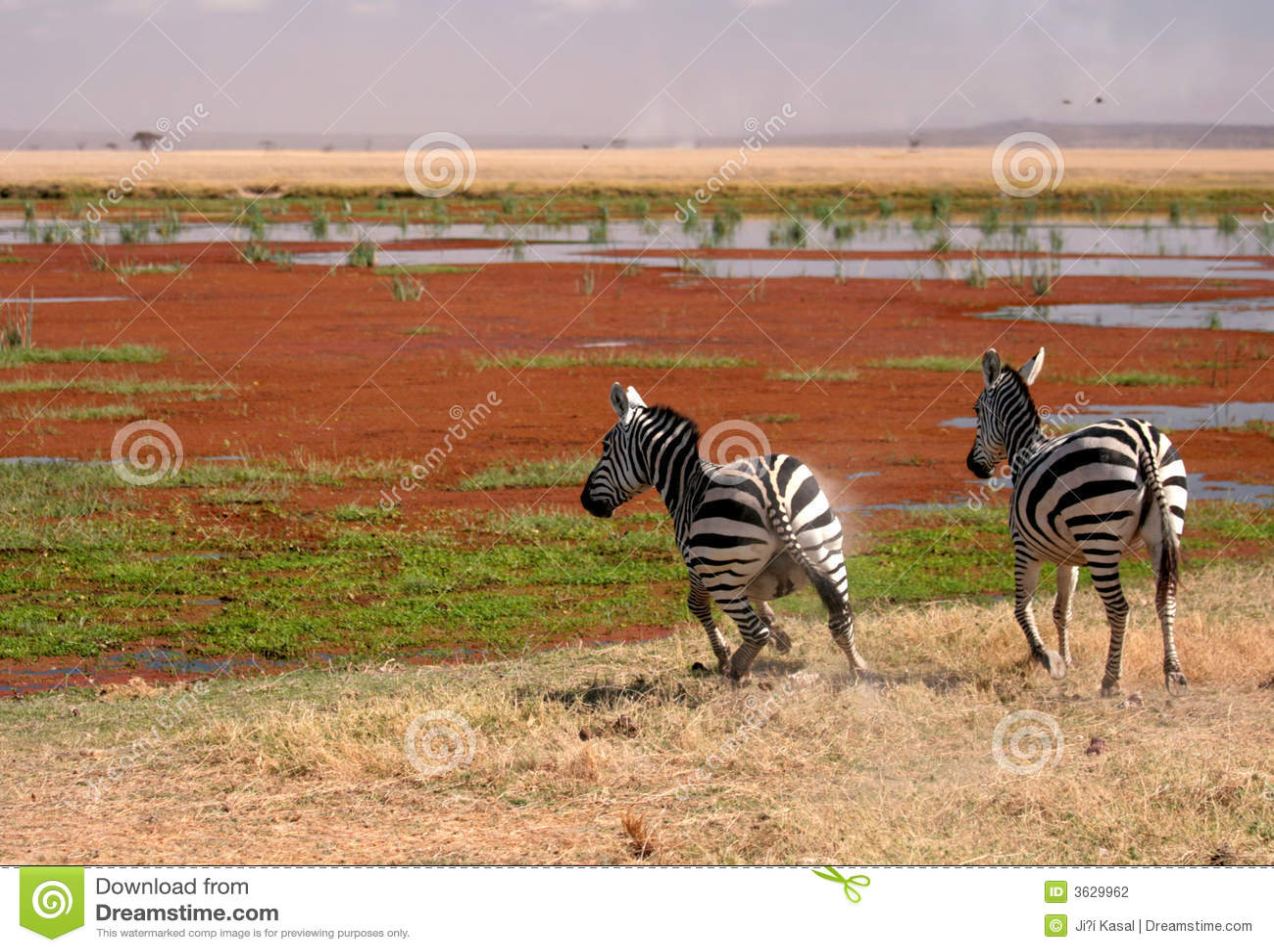 Dois zebra em Amboseli, Kenya,
