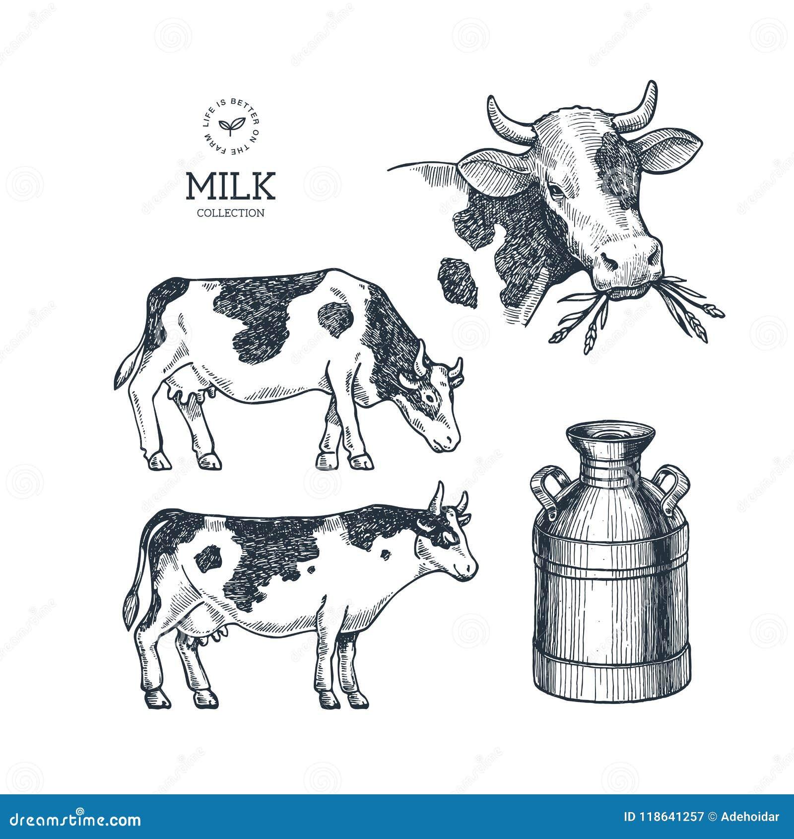 Dojna rolna kolekcja Krowa grawerująca ilustracja Rocznika husbandry również zwrócić corel ilustracji wektora
