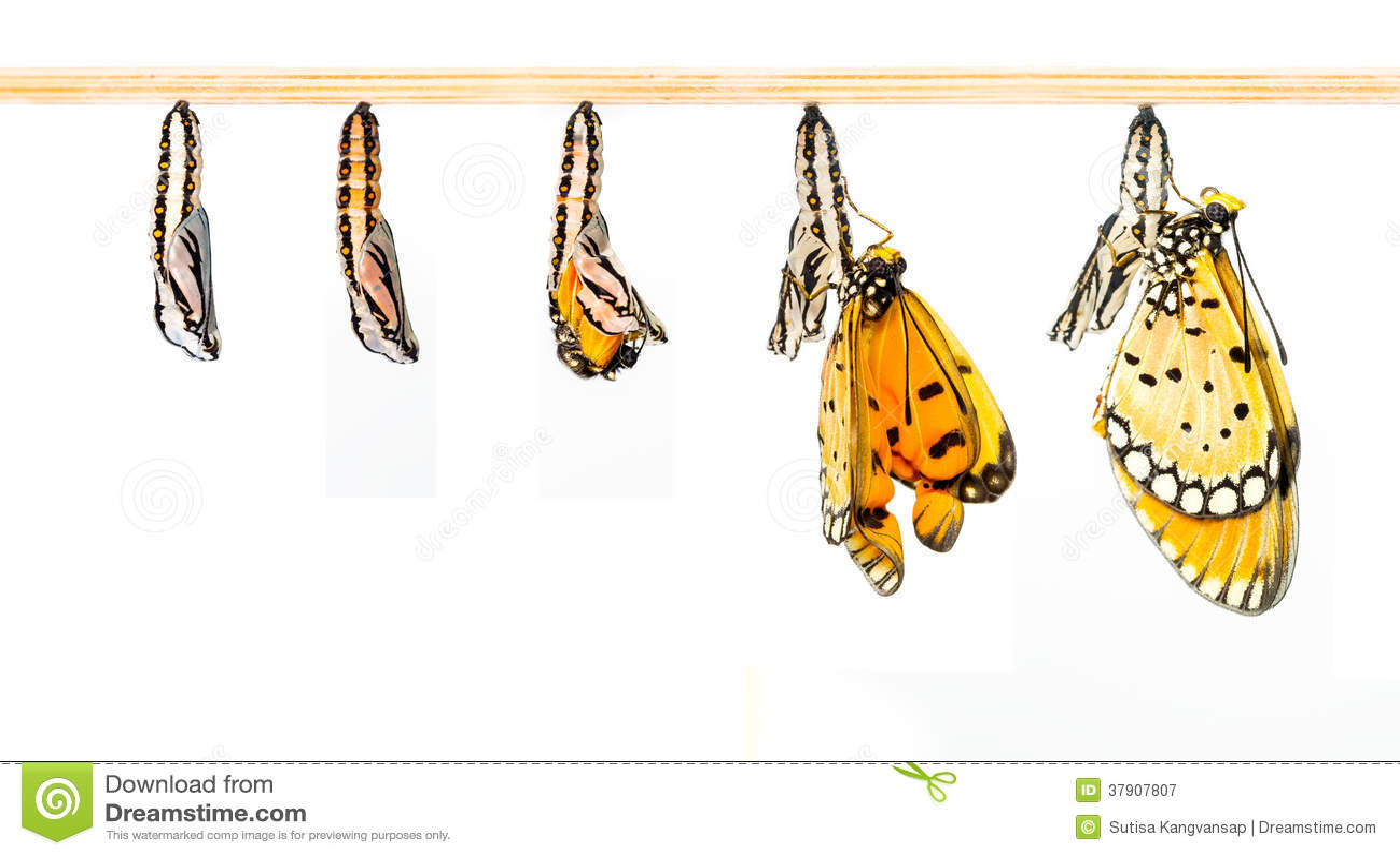 Dojrzała kokon transformata Tawny Coster motyl