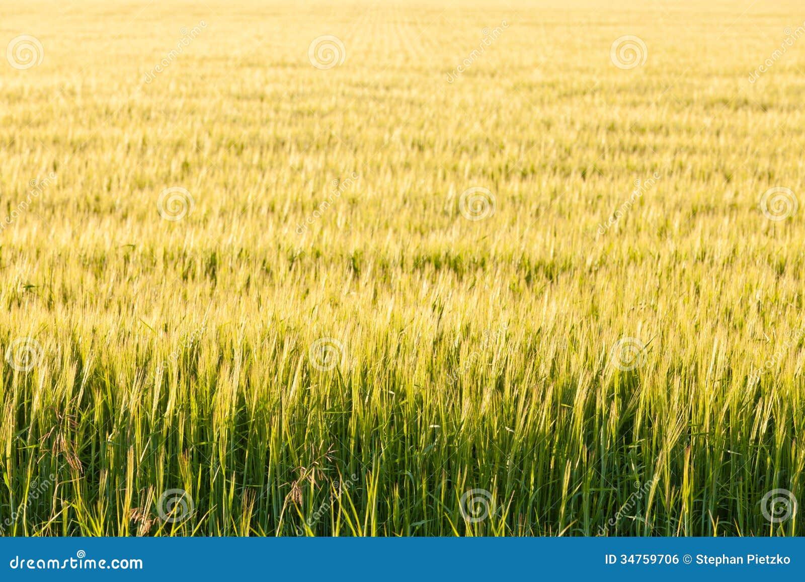 Dojrzałe banatek rośliny na polu w ciepłym wieczór słońcu