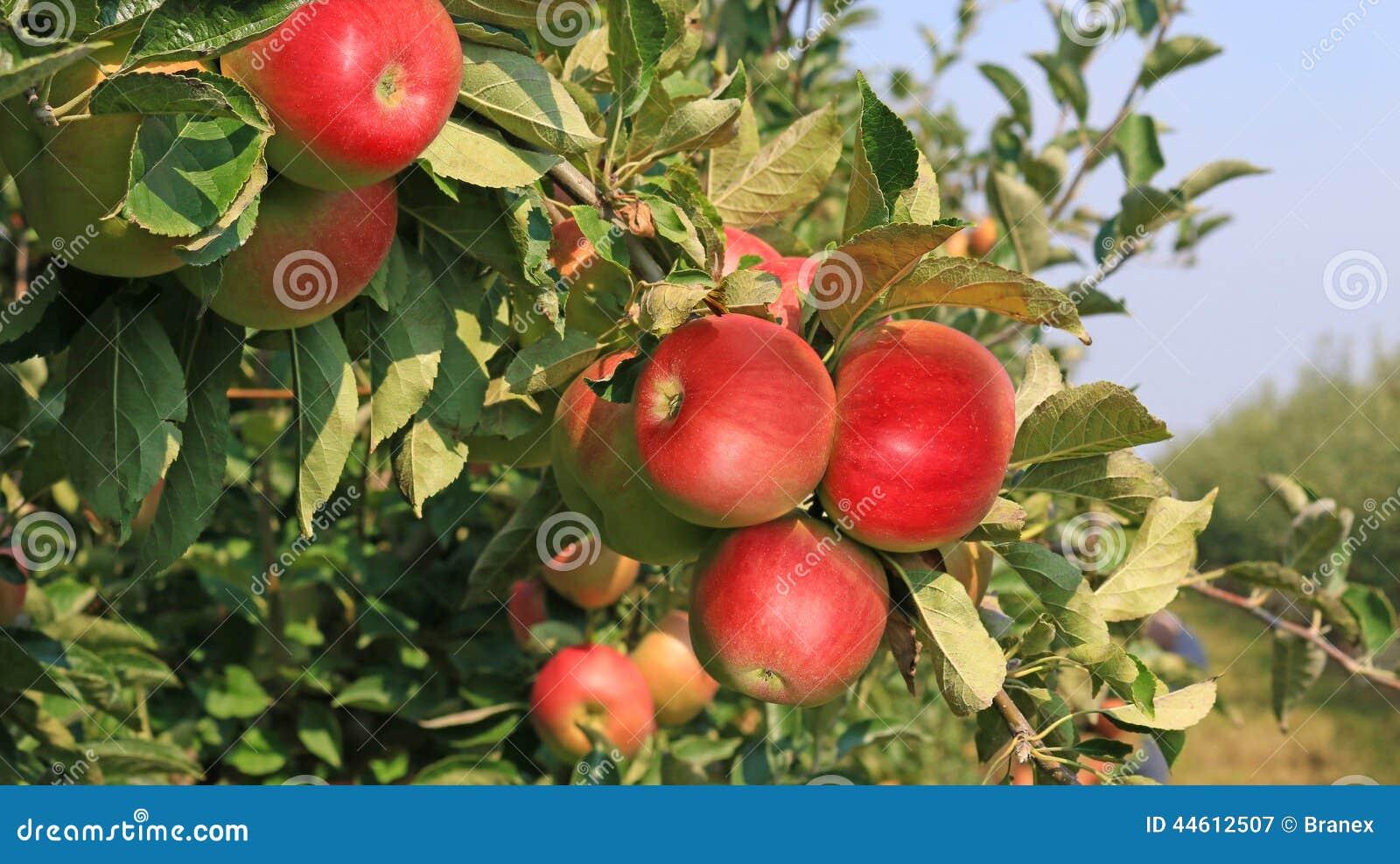 Dojrzałe jabłko