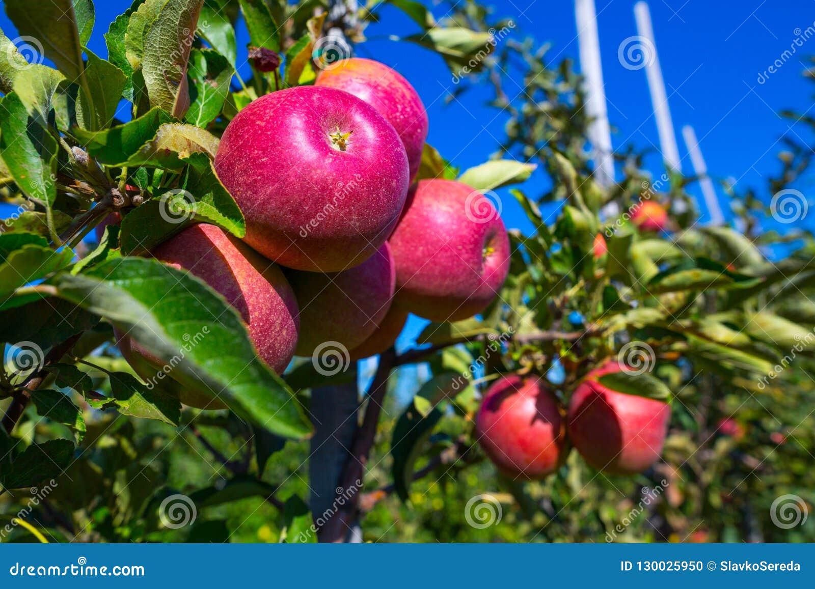 Dojrzałe owoc czerwoni jabłka na gałąź młode jabłonie