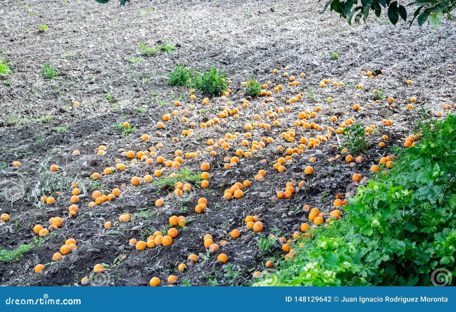 Dojrzałe pomarańcze spadać na ziemi pod drzewem