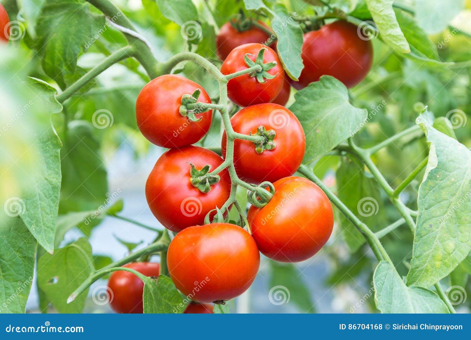 Dojrzały czerwony pomidorowy dorośnięcie na gałąź w polu