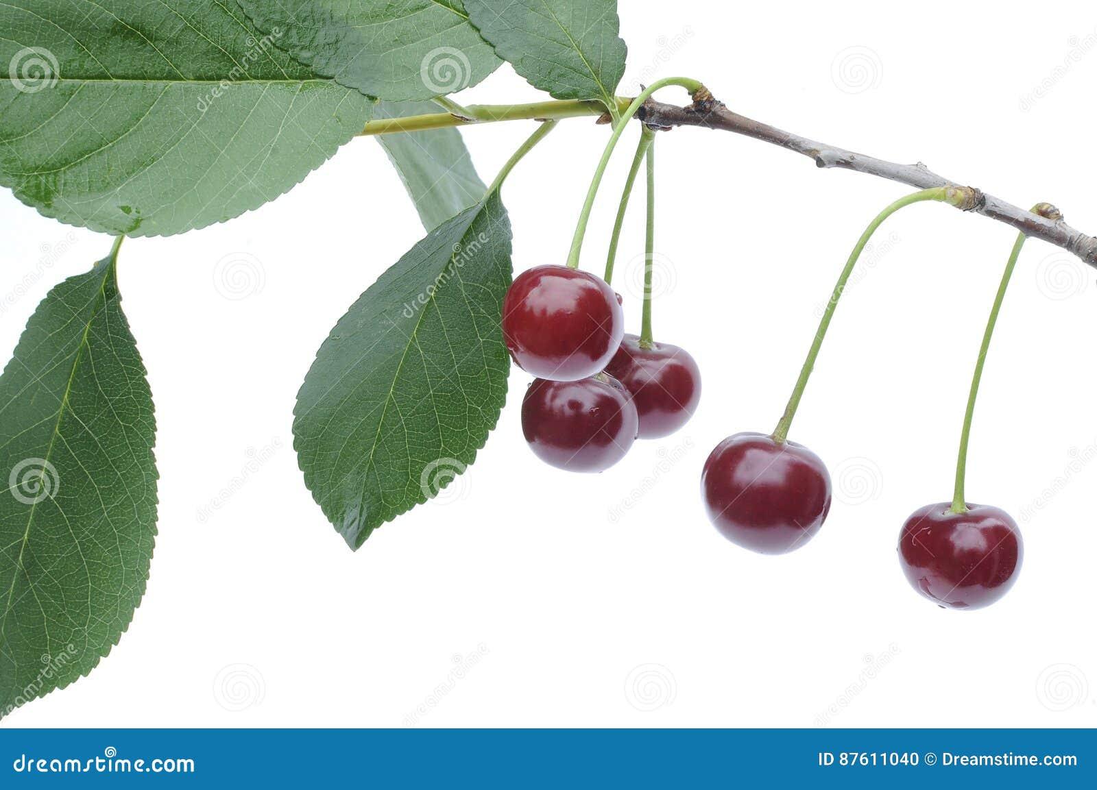 Dojrzały czerwony wiśni Ð ¾ Ñ 'gałąź