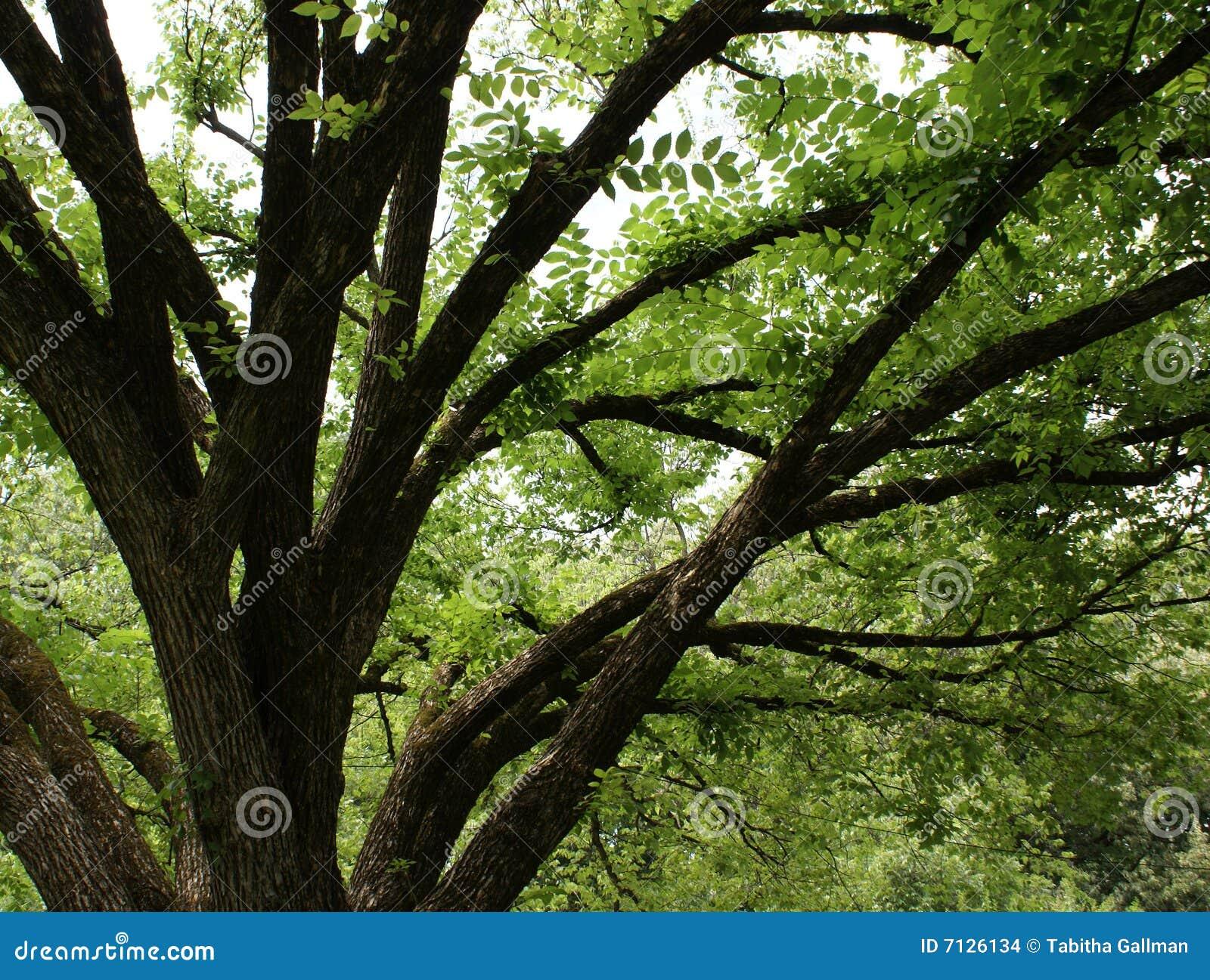 Dojrzały dębowy drzewo