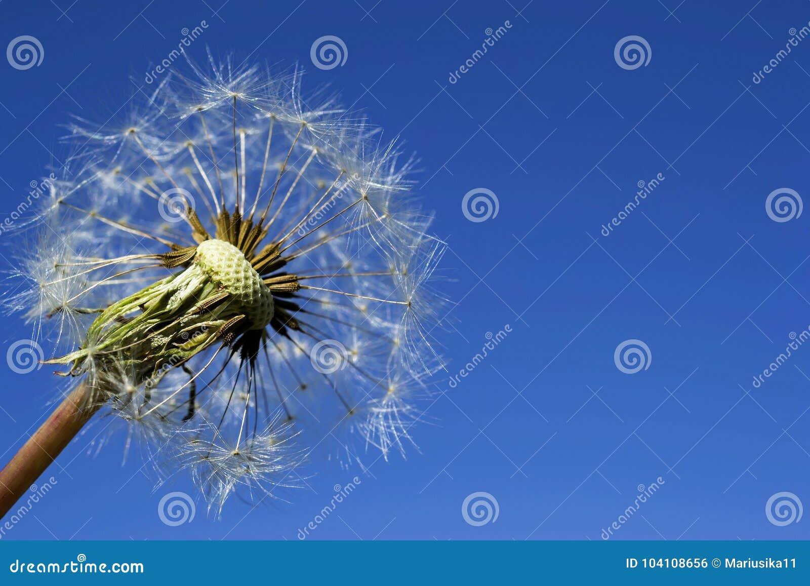 Dojrzały dandelion na niebieskim niebie