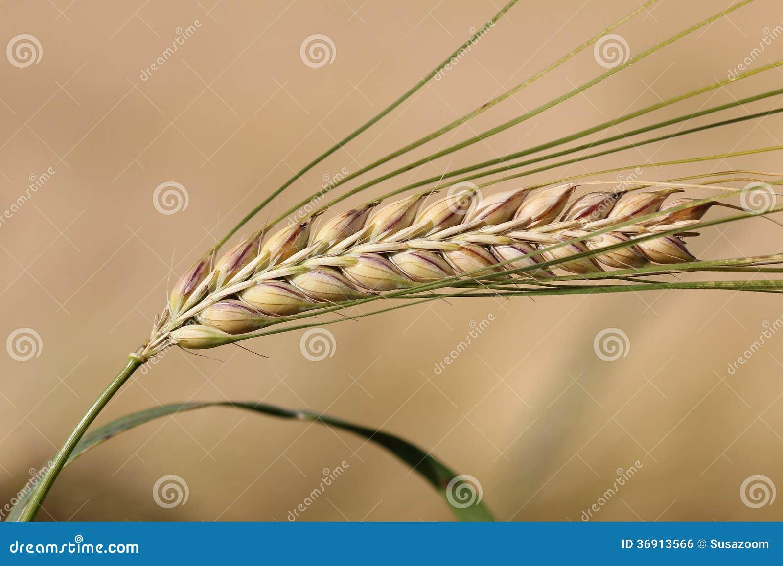 Dojrzały jęczmienny ucho na beżu pola tle