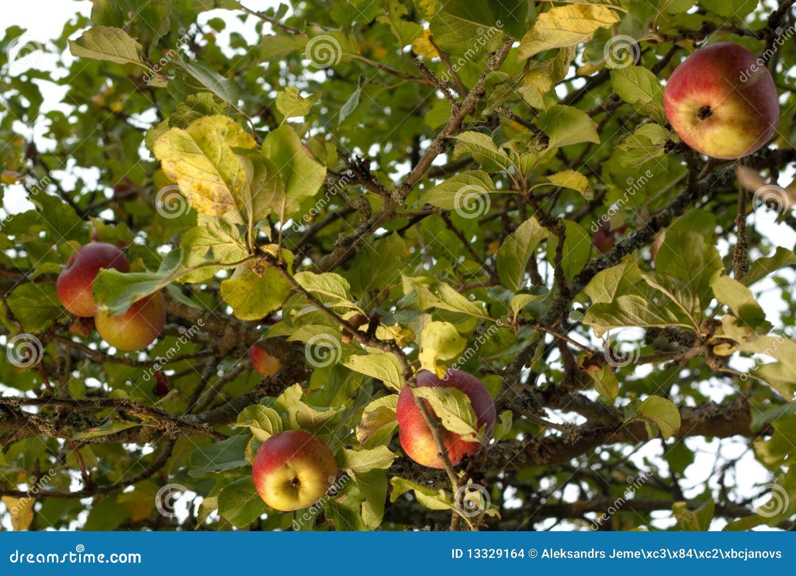 Dojrzały jabłka drzewo