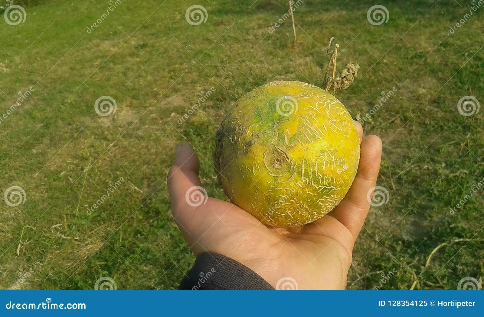 Dojrzały piękny mały melon w ręce