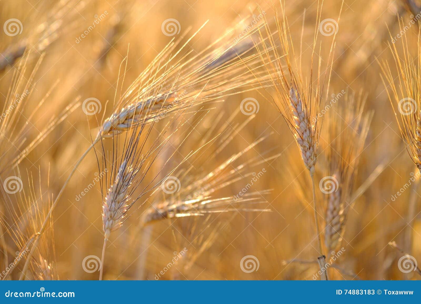 Dojrzały pszeniczny kiwanie w wiatrze