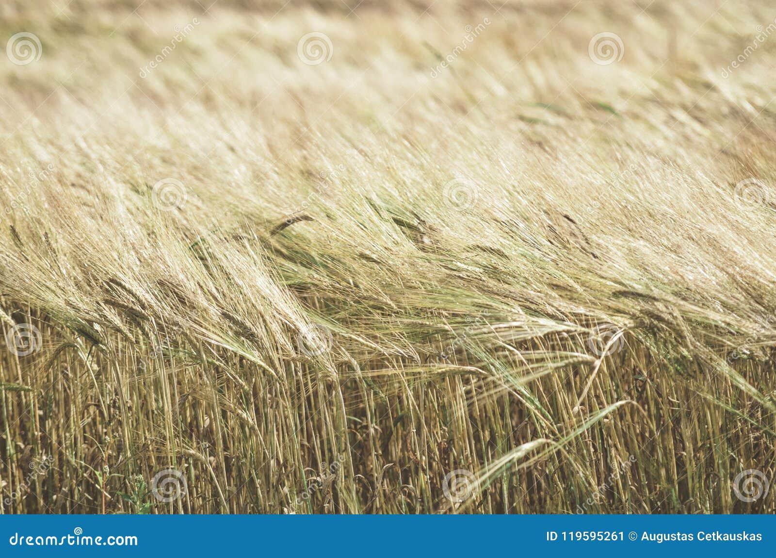 Dojrzały pszeniczny pole w słonecznym dniu Spikelets żyto r w a
