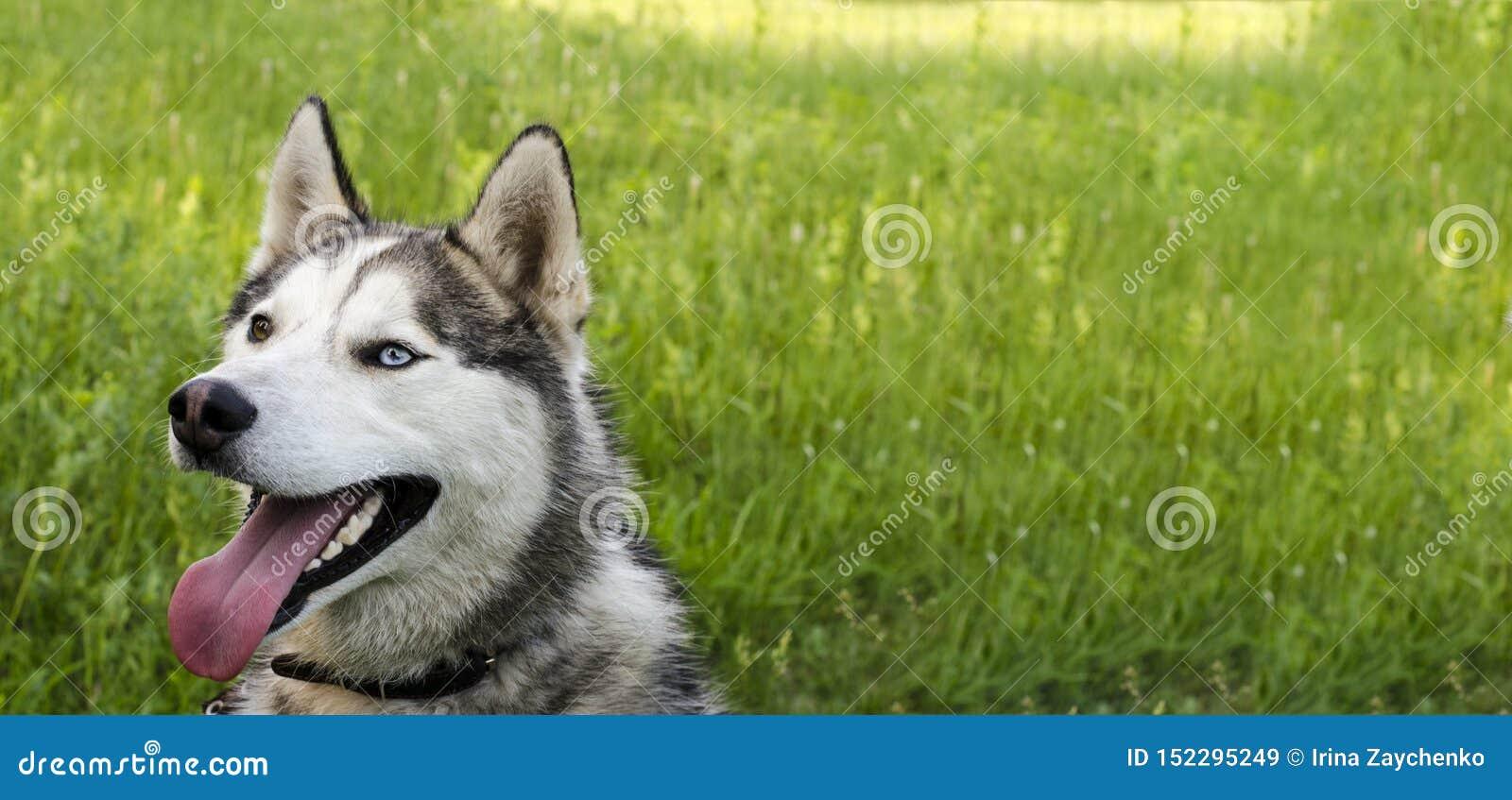 Dojrzały siberian husky na zielonej trawy tle Kabel szarego i biały futerko, różni oczy jest błękitny i brązie