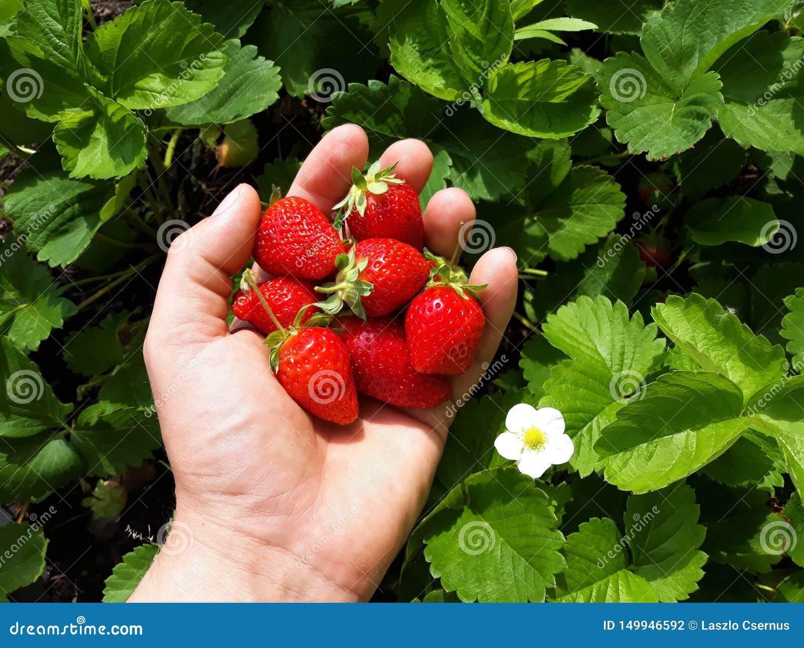 Dojrzały truskawki żniwo ręcznie