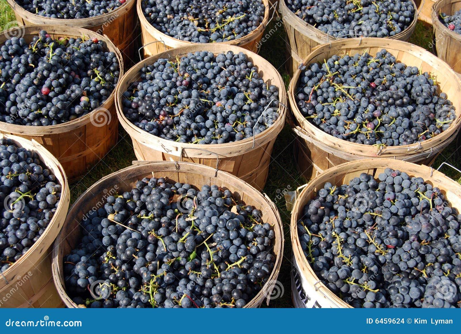 Dojrzałych winogron,