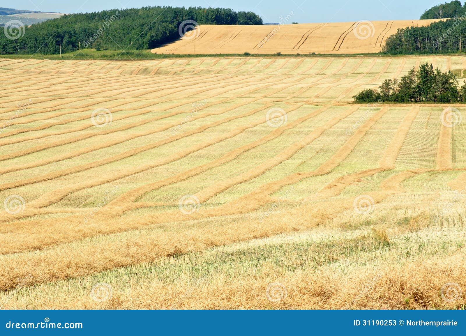 Dojrzali canola pola w spadku
