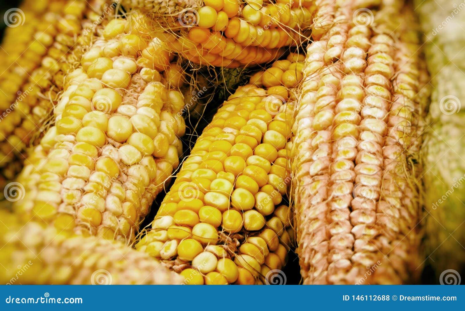 Dojrzali kukurydzani cobs w spadku