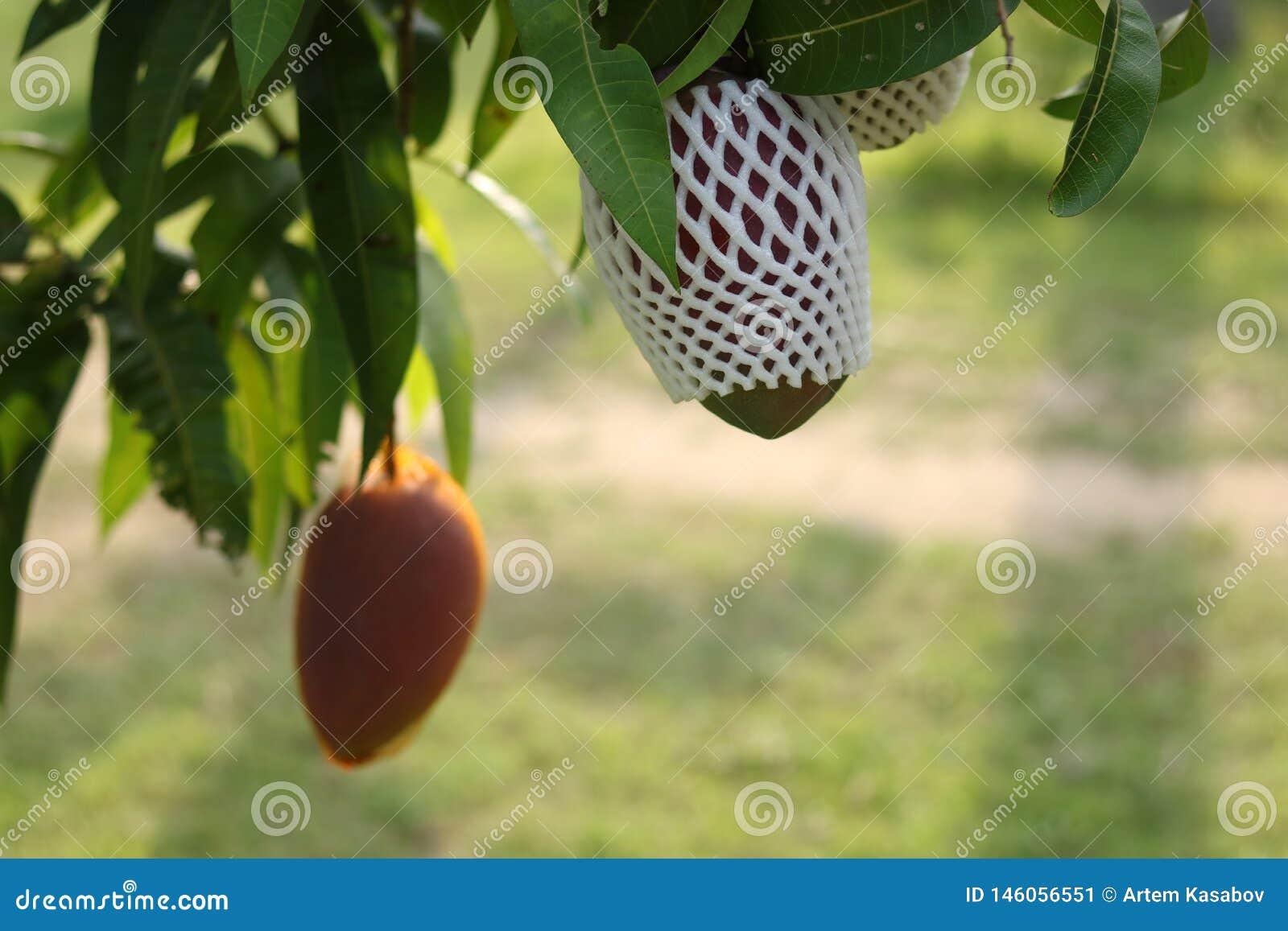 Dojrzali mango na drzewie w ogr?dzie