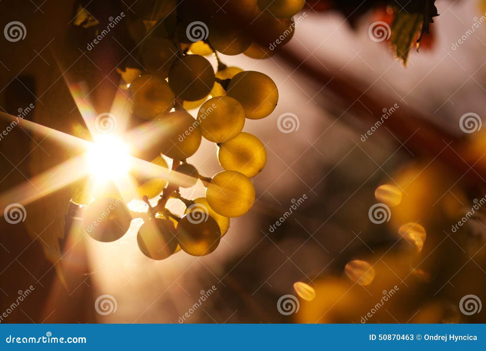 Dojrzali win winogrona i wino w świetle słonecznym grają główna rolę