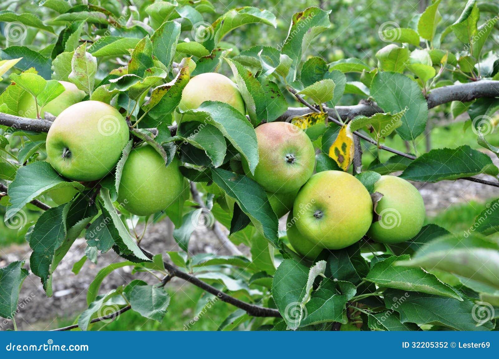 Dojrzali zieleni jabłka