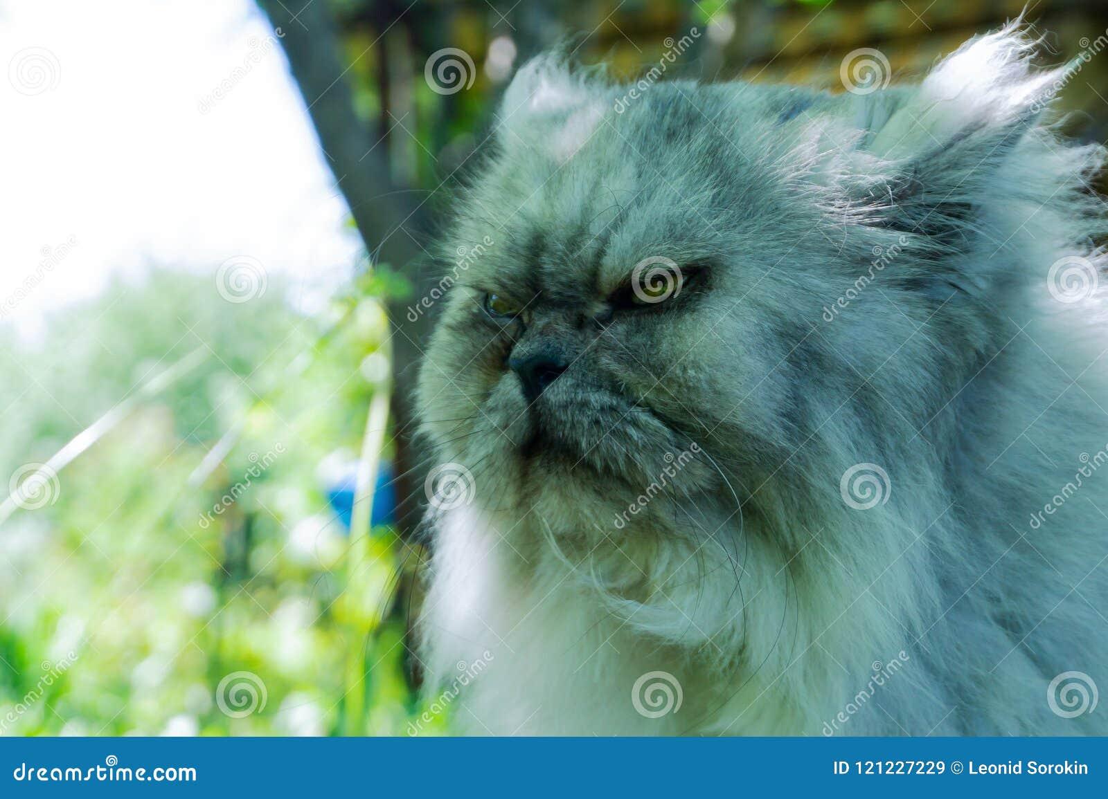 Dokuczający kot z gniewną twarzą, portret zdegustowany zwierzę domowe, zła patrzeć
