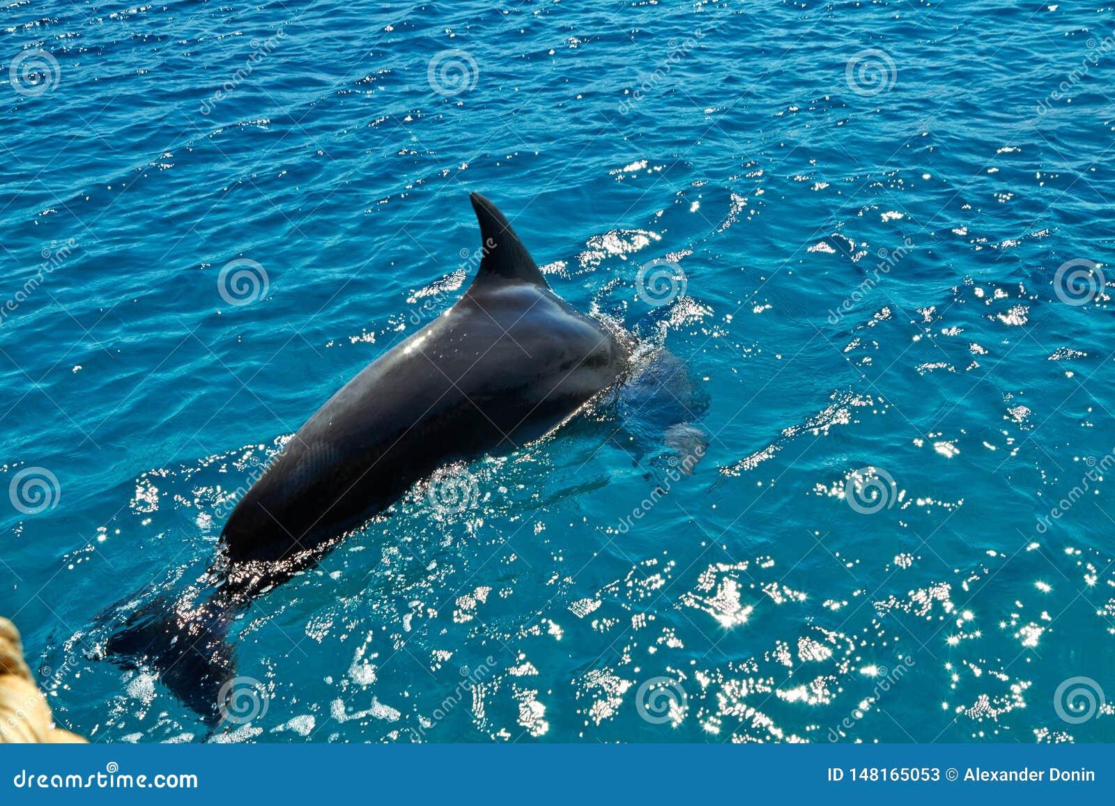 Dolfijn in het rode overzees