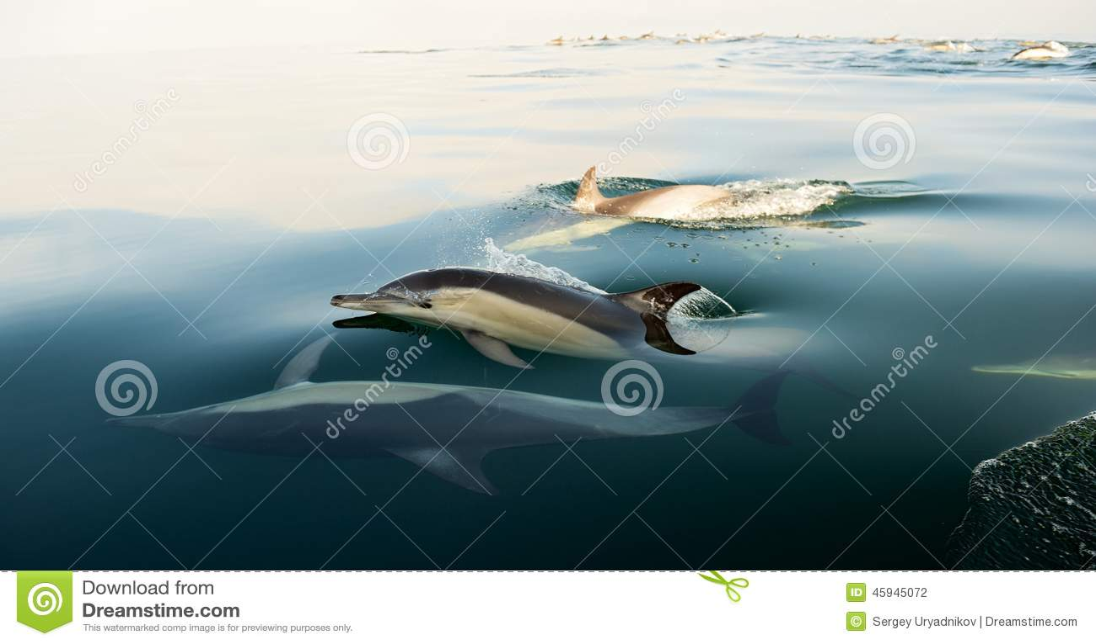 Dolfijnen, die in de oceaan zwemmen