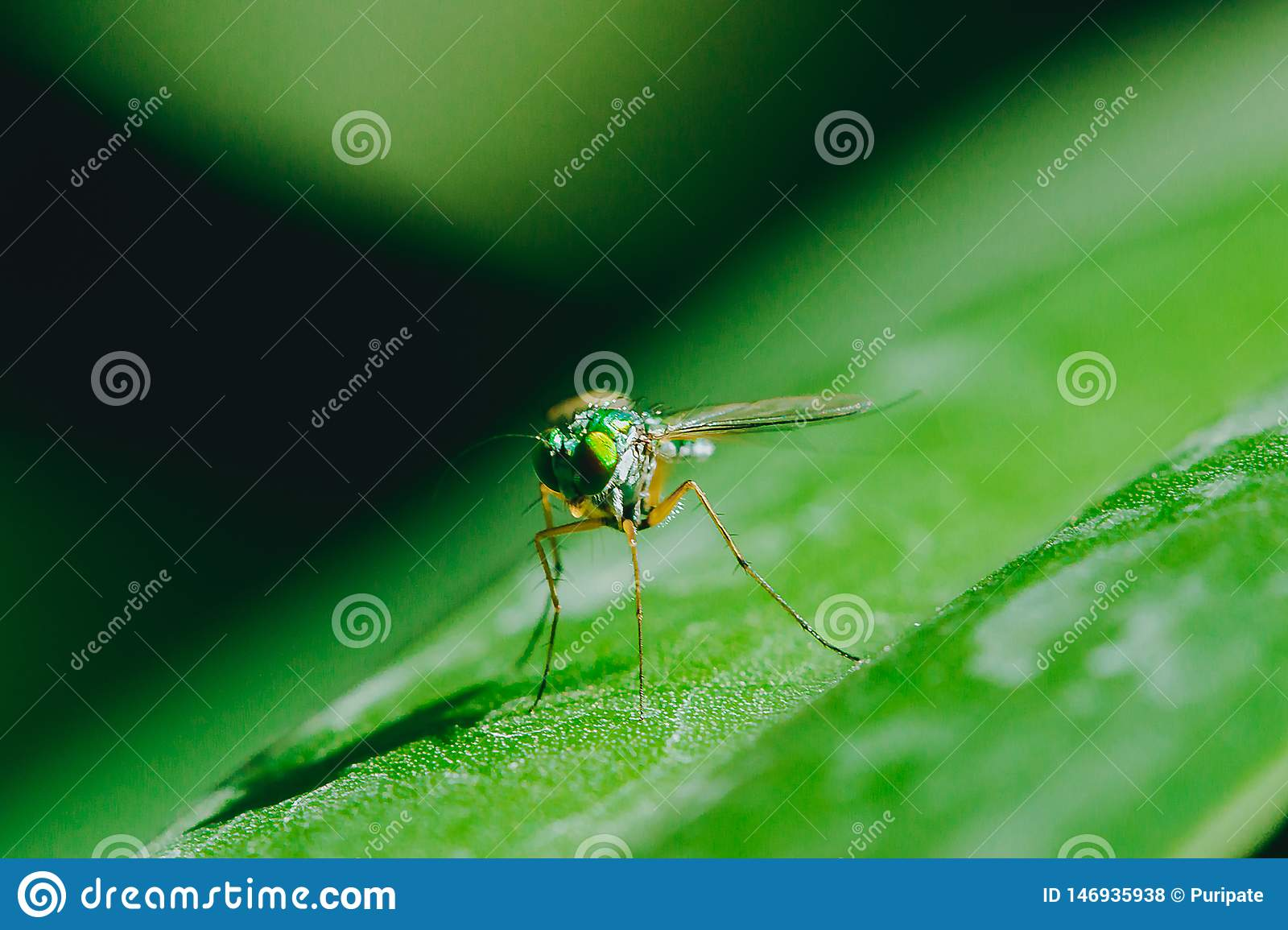 Dolichopodidae on the leaves are small, green body