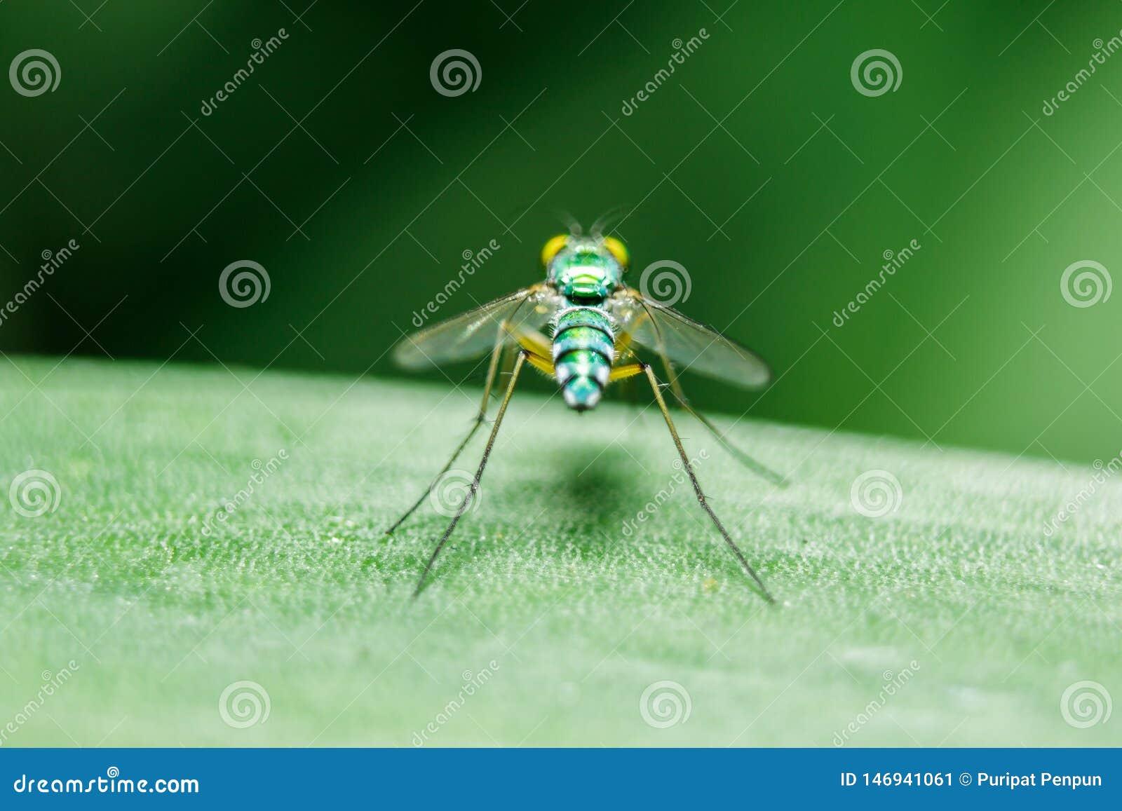 Dolichopodidae nas folhas ? corpo pequeno, verde